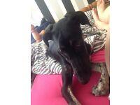 18 week old greyhound cross lurcher