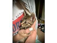 Kitten tabby grey boy