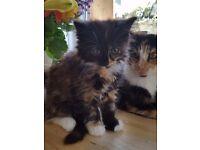 Half Siberian kittens for sale