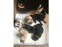 Kc reg pug puppies carrying choc, tan and pied