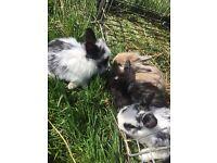 gorgeous mini lop cross lionhead baby rabbits