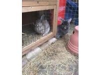 Two rabbits with hutch, run etc
