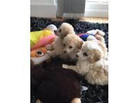Toy poodle boy 12 weeks