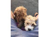 2 beautiful girl f2 cockapoos 10 week old