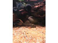 For sale 3x l24 cactus Pleco