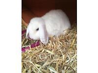 Two white rabbits and hutch,run