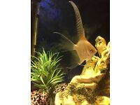Silver angelfish, free