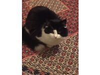Lost black and white male cat in Maida Vale