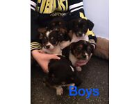 cavalier king charles cross miniture jack russell puppies