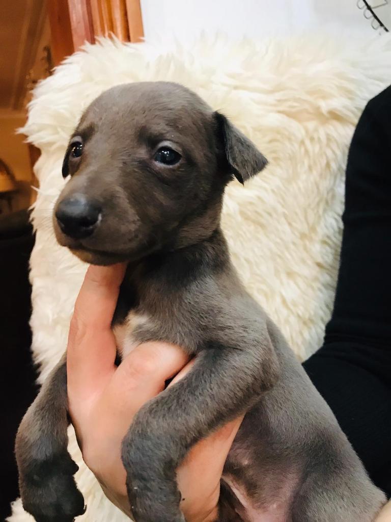 Litter of 10 KC Registered Pedigree Whippet Puppys For Sale | in Maidstone,  Kent | Gumtree