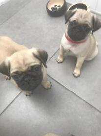 KC Registered pups