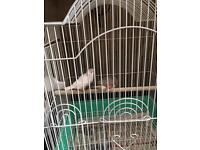 Pair of zebra finches for sale