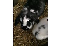 2male indoor rabbits