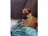 One year old jack russell x pug (jug)