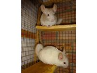 Chinchillas, Male, 4 Mths old ,white,Beige & Tan ,Very Cute & tame used to being handled