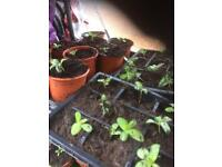 Mixed Plants any plants perennial or Annuals Only £1 each