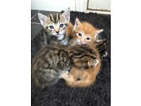 Healthy vet checked kittens