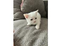 One pure white kitten for sale