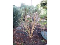 Large Buddleia plant looking for a new home.