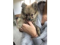 Mini Russian Teddy Pomeranian Teacup Boy
