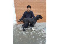 very big!! pressa cross puppy for sale
