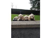 Cockapoo pupies ready for rehoming mother is a F1 cocker spaniel father is a miniature poodle