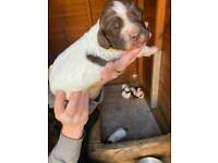 KC registered English Springer Spaniels pups