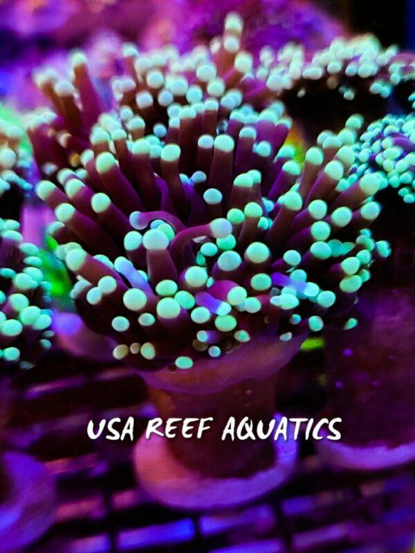 USA REEF AQUATICS -  BLACK LIGHT TORCH CORAL LPS EUPHYLLIA