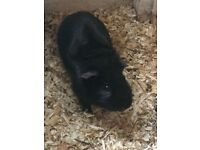 2 Sweet Male Guinea pigs for sale