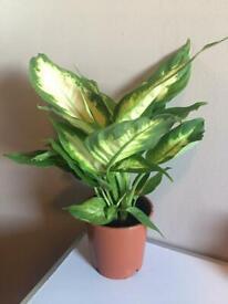 Dumbcane Indoor Plant