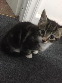 female tabby kitten cute