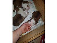 Beautiful bulldog pups