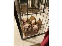 Brittish bulldog puppies for sale
