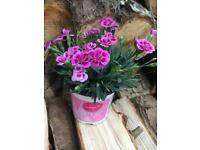 Pinks (Dianthus) Plants