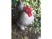 Ash/Grey Bantam Rooster for sale