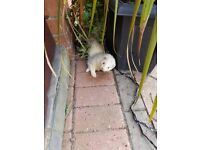 LOST hob white/cream ferret