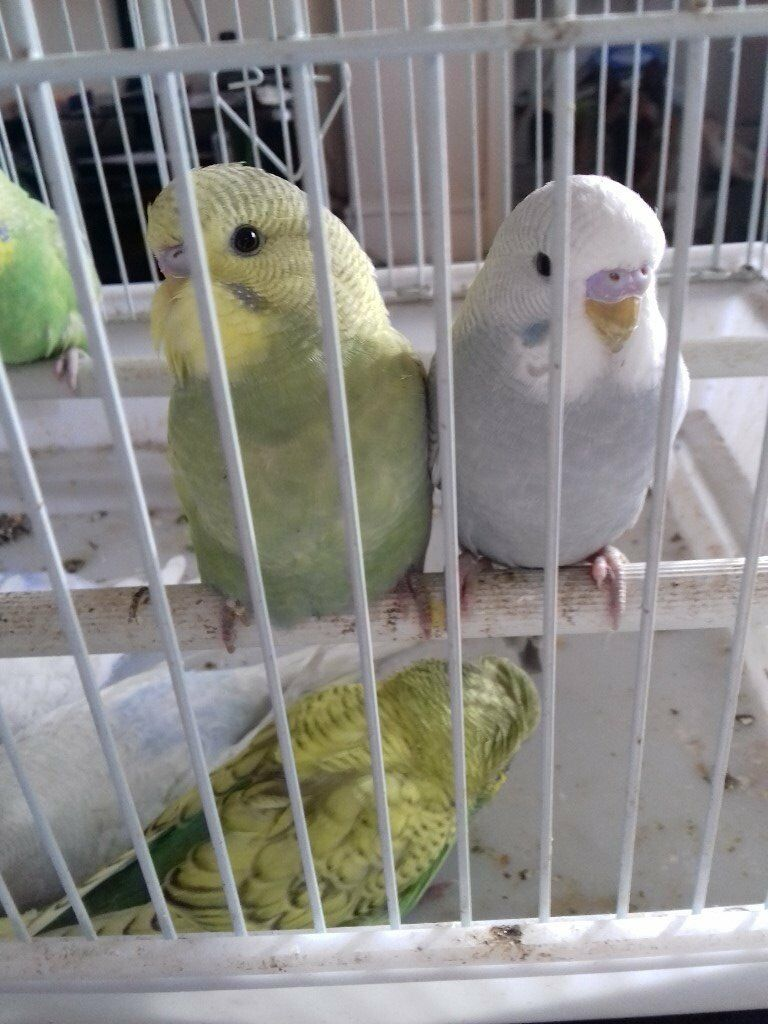 Seven Baby Budgies for sale