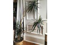 Free Healthy Dragon Plant house plant