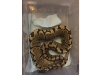 Female woma royal python with all equipment