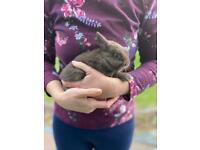 Stunning Chocolate Baby Rabbit Buck Netherland Dwarf