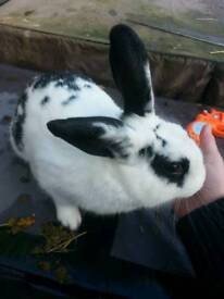 2 gorgeous male dutch lop cross looking for forever homes