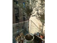 Olive tree for sale