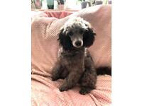 Miniature Silver poodle boy KC