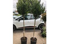 Gorgeous standard lollipop bay trees, approx 200 cms £80 each, stowmarket