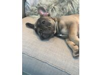 15 week old KC registered blue tan French bulldog puppy