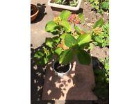 Beautiful Hydrangea plants