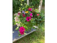 I have for sale a beautiful big moss hanging baskets !!!
