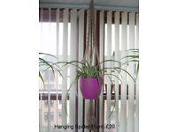 Spider Plant in Ceramic Vase & Macrame Rope Hanger
