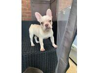 ONLY 1 PLATINUM BOY LEFT! French Bulldog Puppies