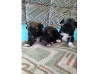 3 female lhaso apso puppies